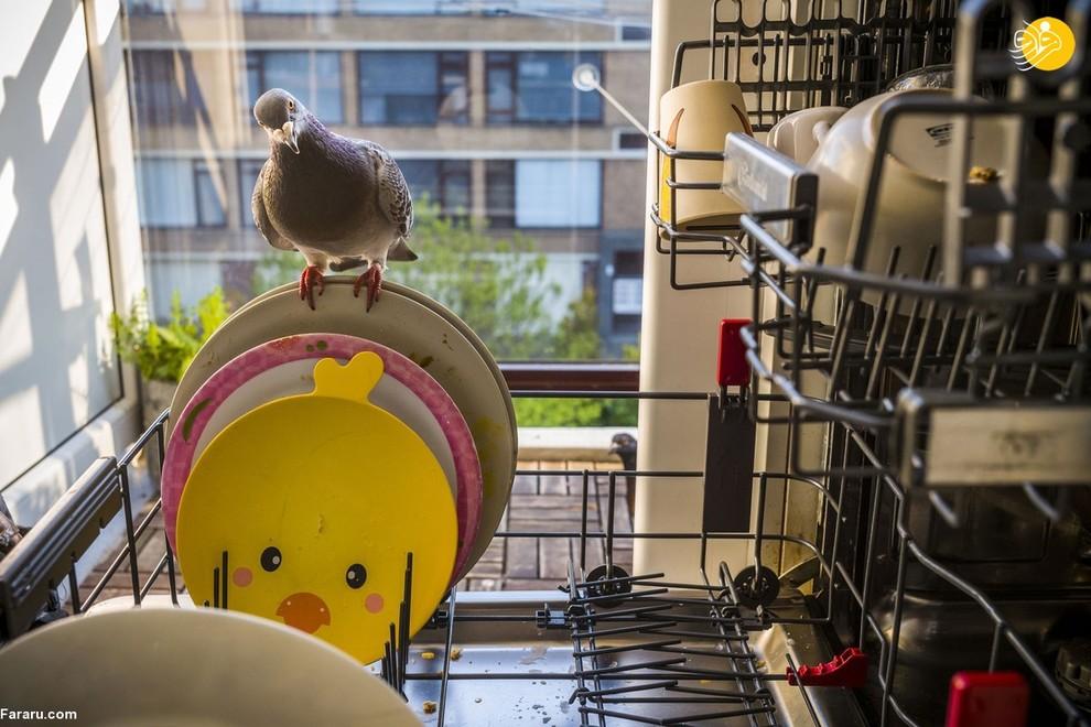 یاسپر دوئست، عکاس هلندی در زمان پاندمی و قرنطینه در منزل خود میزبان یک جفت کبوتر بود. این دو کبوتر بهطور مرتب به این خانواده هلندی سر میزدند به نحوی که اهالی منزل برای مهمانان خود نامهای