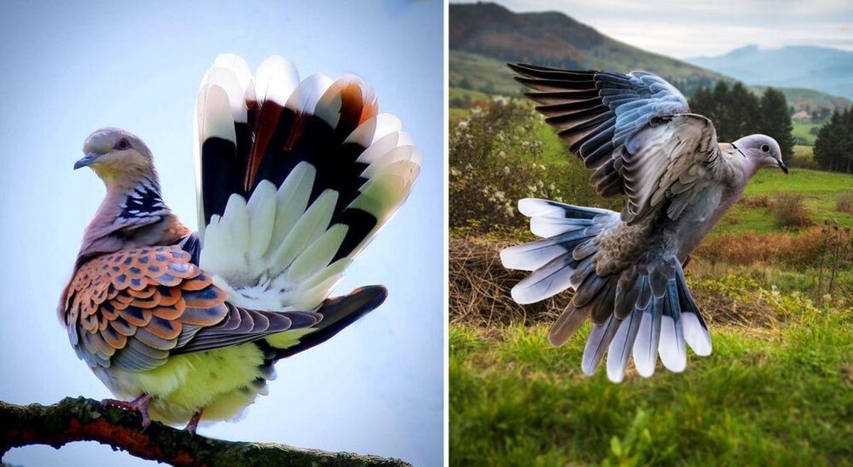 تصویری معرکه از خوشگلترین کبوتر جهان