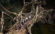 تصویر پل زنده در جنگلهای هندوستان