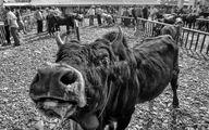 تصاویری از بورس و بازار خرید و فروش گاو در کوچصفهان