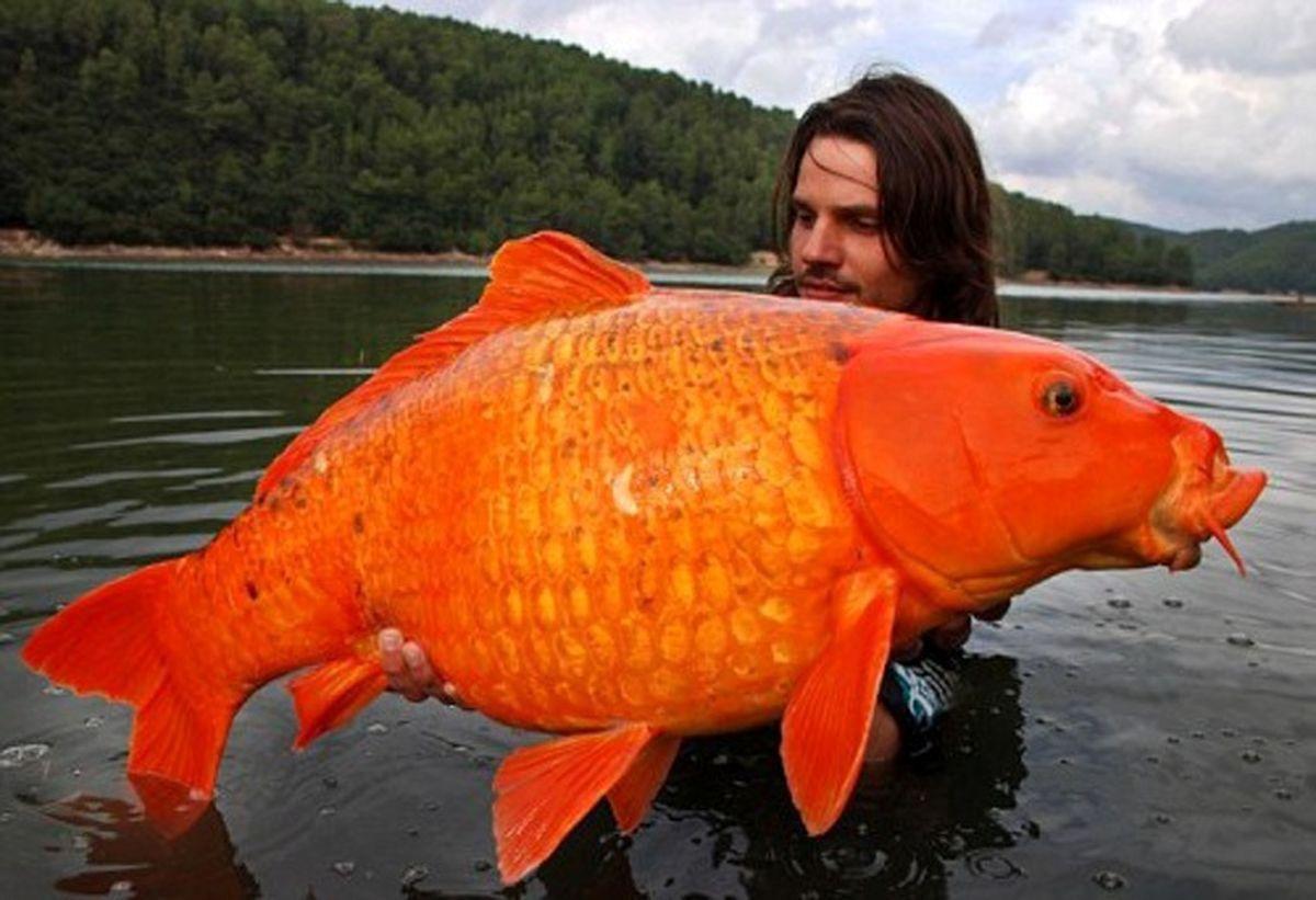 بزرگترین ماهی قرمز جهان! +عکس