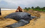 بزرگترین لاکپشت آبی جهان مرد؛حمل با بیل مکانیکی
