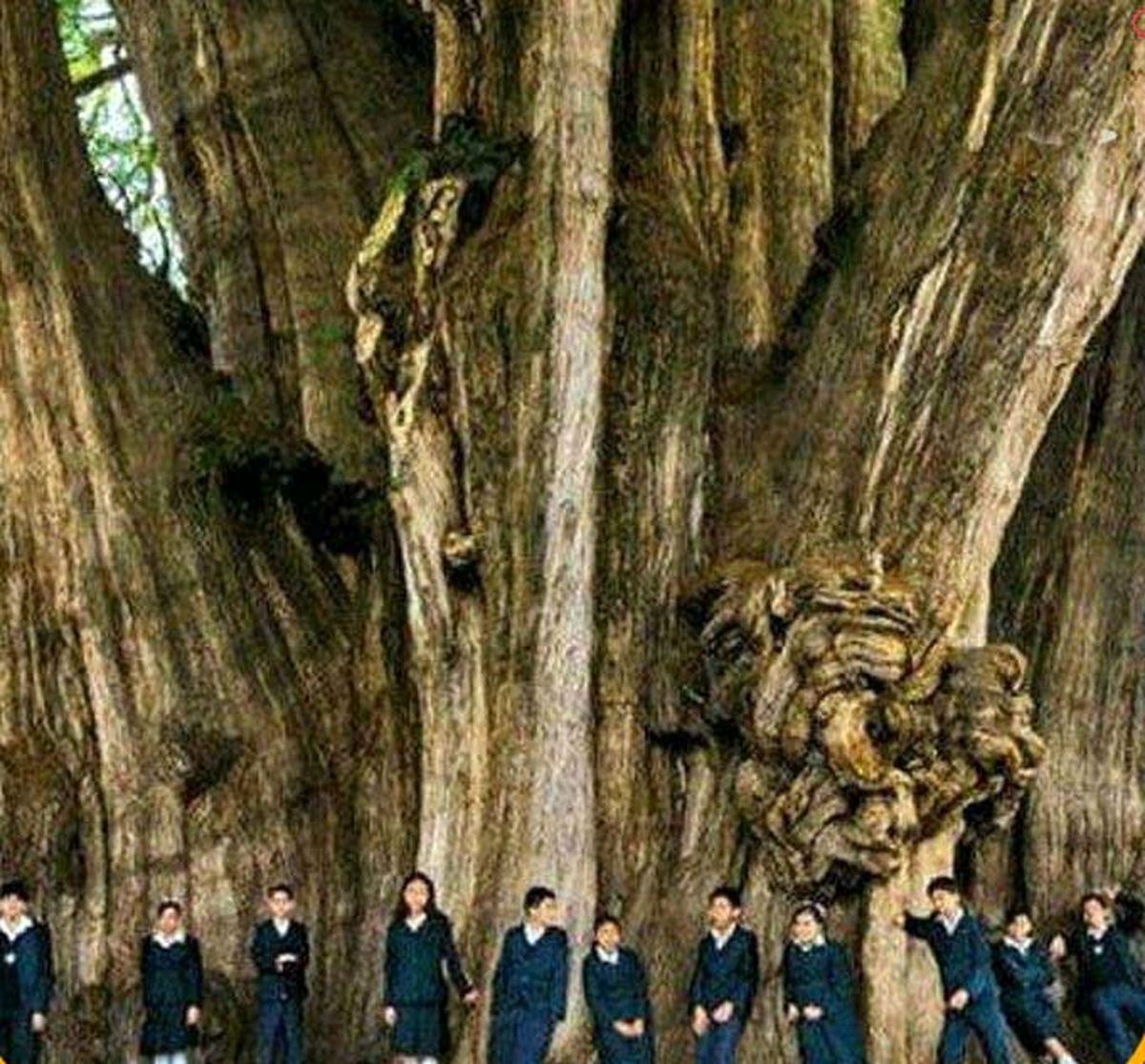 پهن ترین درخت جهان؛عکس
