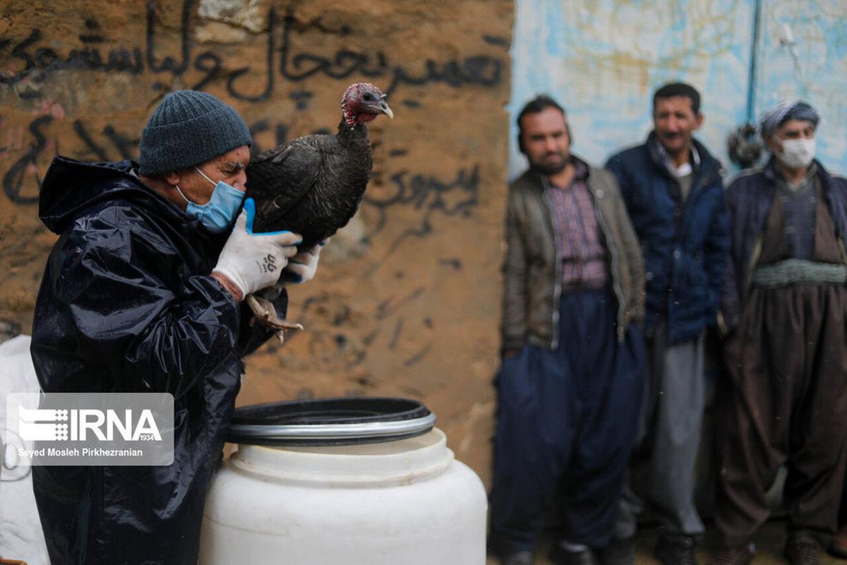 مقابله با آنفلوانزای فوق حاد پرندگان در کردستان+عکسها