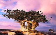 پیرترین درخت کاج زنده در روی زمین