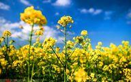 مزارع زرد رنگ کلزا - مازندران+عکسها