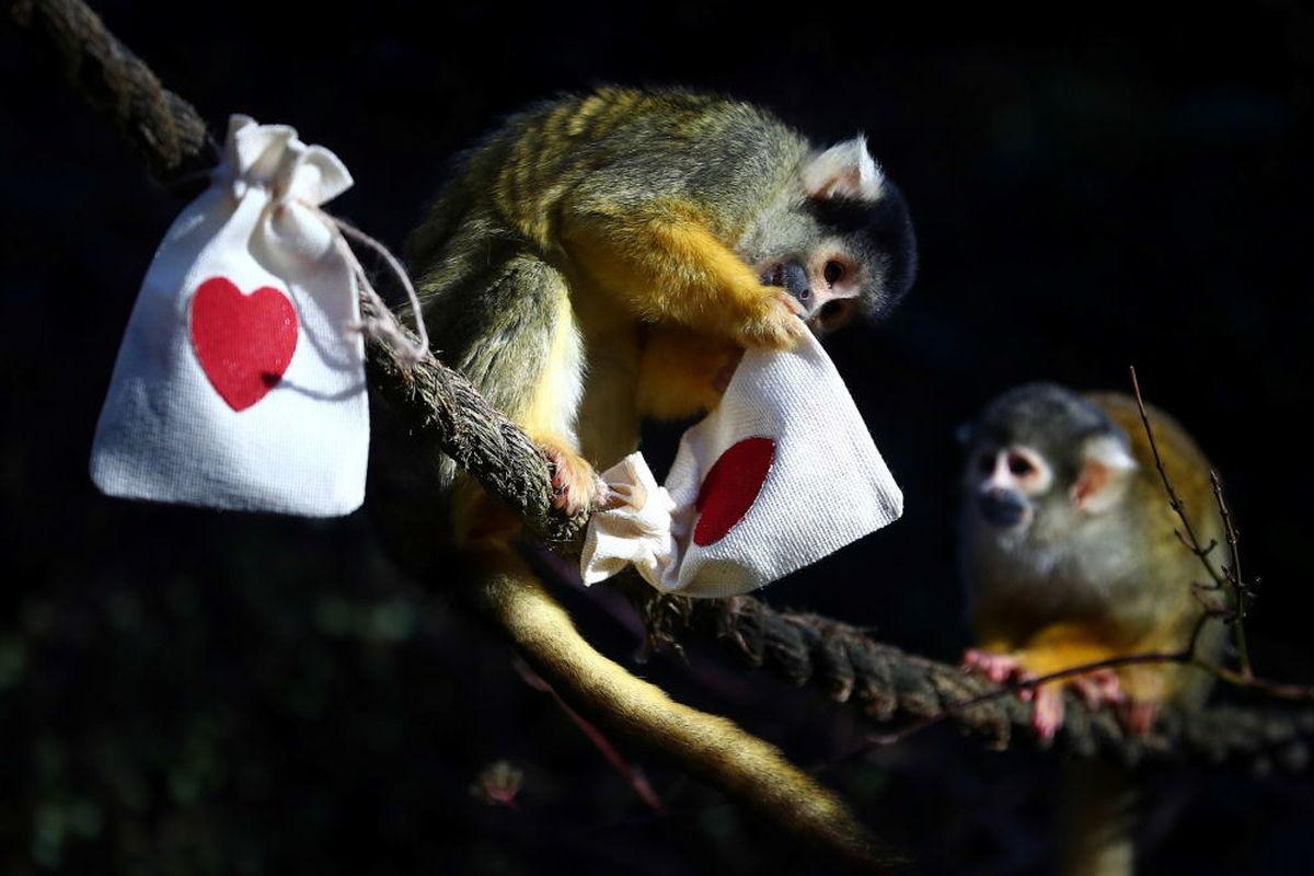 میمونها در حال بازکردن کادوی ولنتاین در بریتانیا+عکس