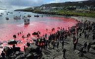 تصاویر/ شکار ۲۵۰ نهنگ و دلفین دریای خون به راه انداخت!