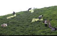 تصاویر: باغات چای گیلان