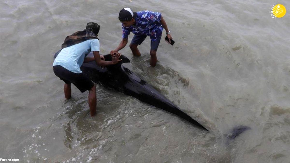 نجات نهنگهای خلبان  به گل نشسته در اندونزی+عکس ها