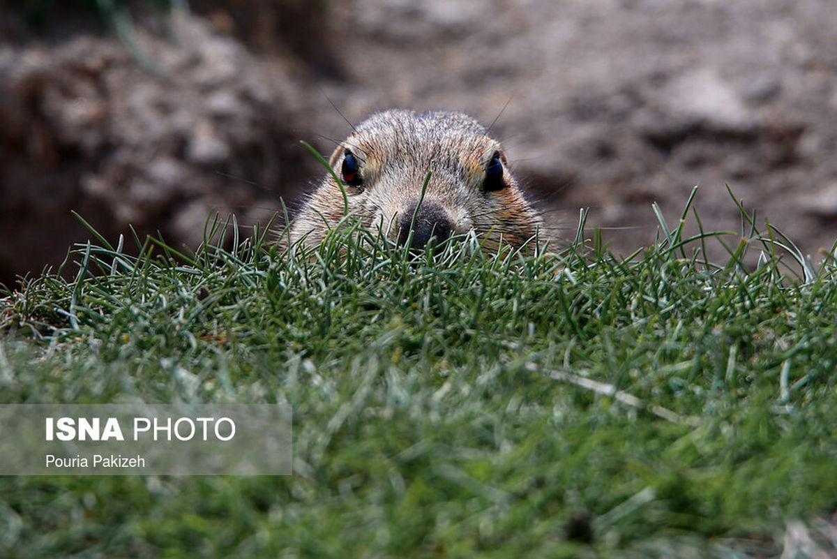 سنجاب «زمینی» در دل زمینهای کشاورزی+عکسها