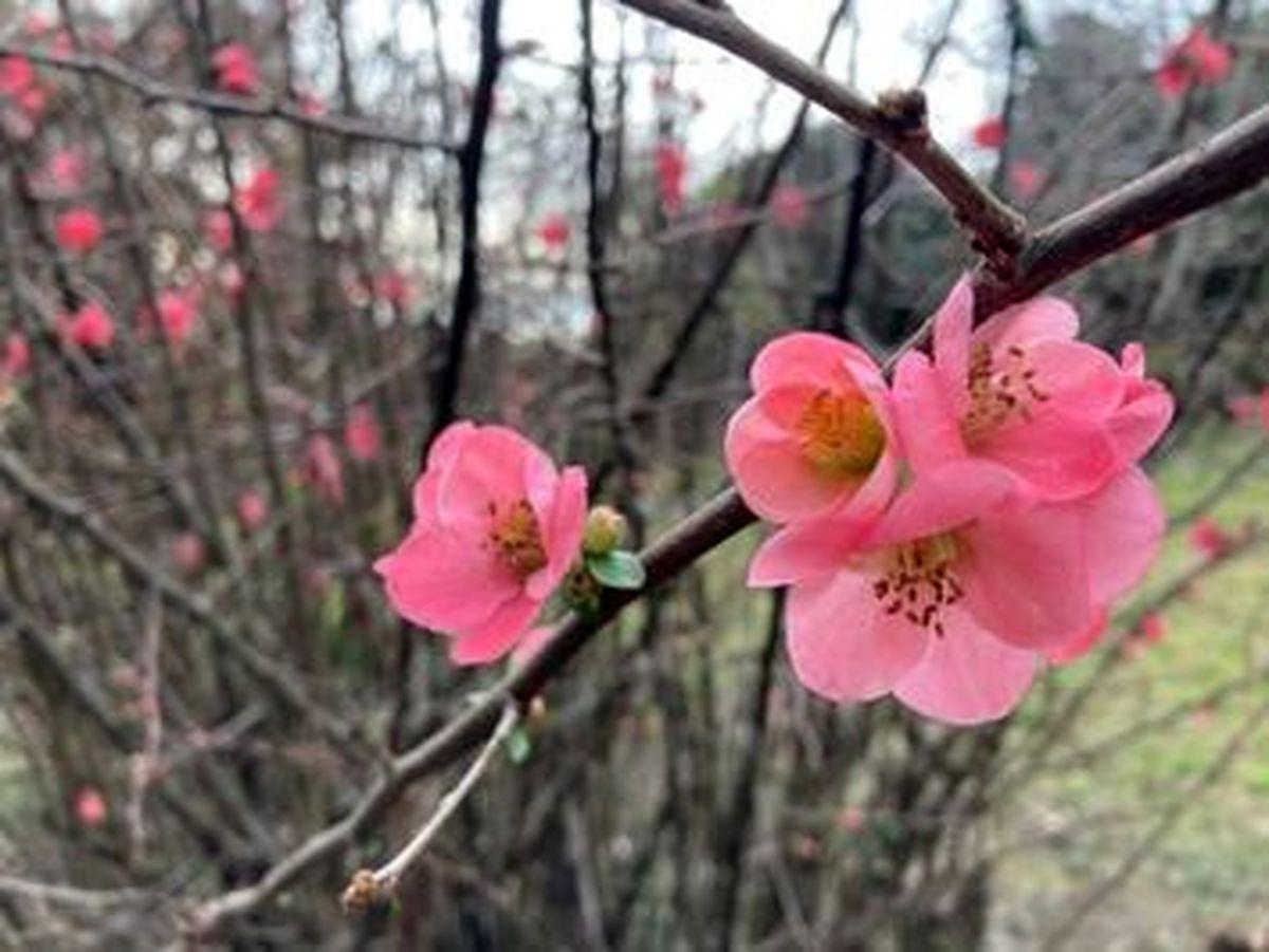 زیباترین عکسها از شکوفایی گلهای میموزا و ماگنولیا در شهر سوچی روسیه