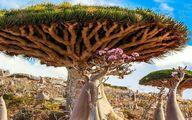 عجیب ترین درختان دنیا در یمن