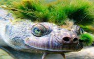 عجیبترین لاک پشت جهان که روی سرش گیاه سبز می شود