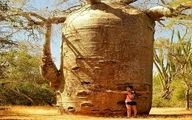 درخت غول آسای بائوباب را ببینید