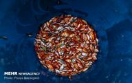 تصاویری زیبا از مزرعه پرورش «ماهی قرمز»/ تصاویر
