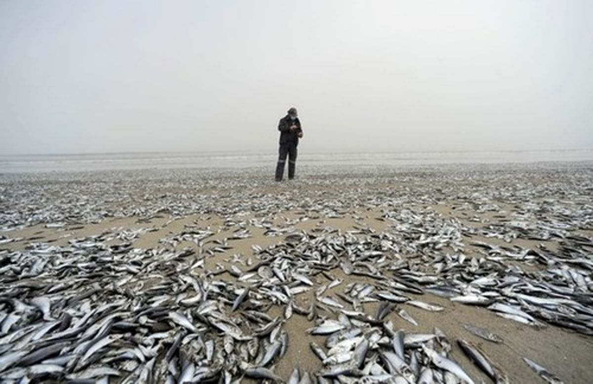 عکس دل خراش از تلف شدن دهها هزار ماهی در ساحل شیلی