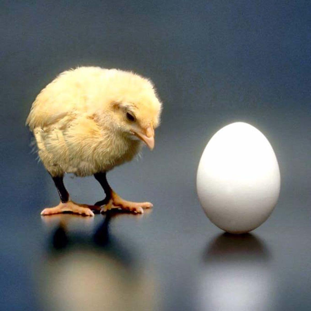 """جواب علمی به سوال""""اول مرغ بود یا تخم مرغ؟"""