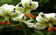 شکوفایی یکی از نادرترین گلهای جهان در گیلان