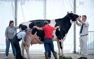 مسابقه بزرگترین گاو انگلیس / تصاویر