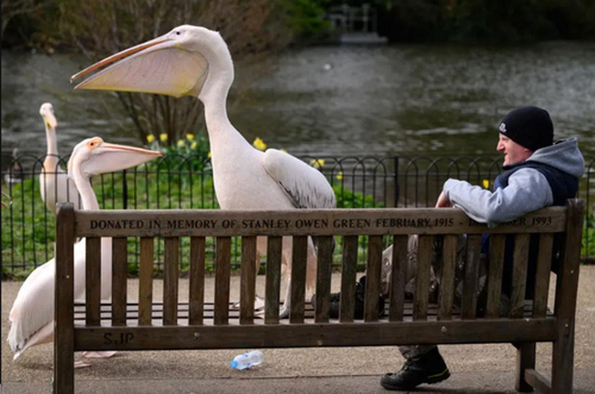 عکسی زیبا از پلیکانهای پارکی در لندن