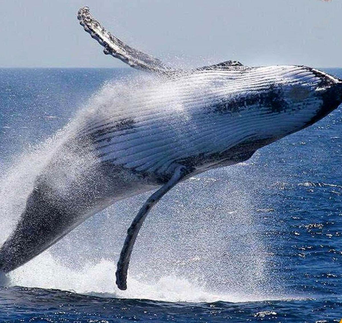 شدیدترین نعره مربوط به این حیوان عظیم است