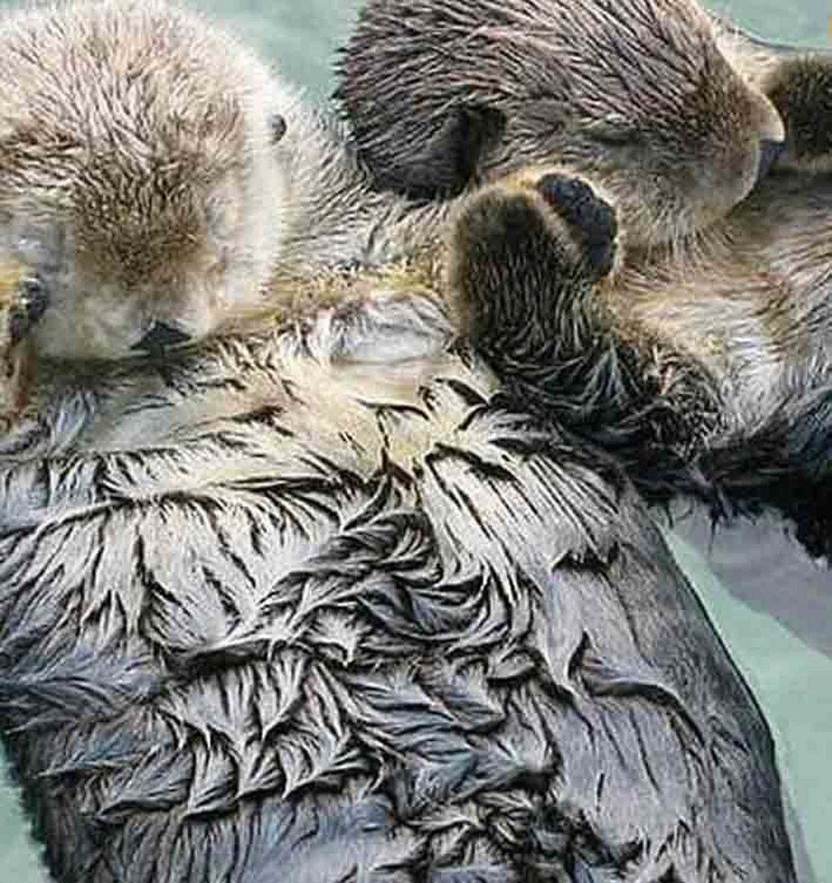 سمورها در خواب دست همدیگر را می گیرند|عکس