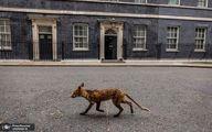 عکس عجیب از یک روباه مقابل ساختمان نخست وزیری انگلیس