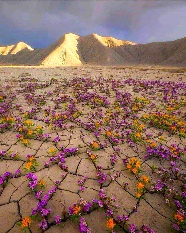 تصویری از پدیدهای که هر هفت سال در صحرای آتاکاما رخ میدهد